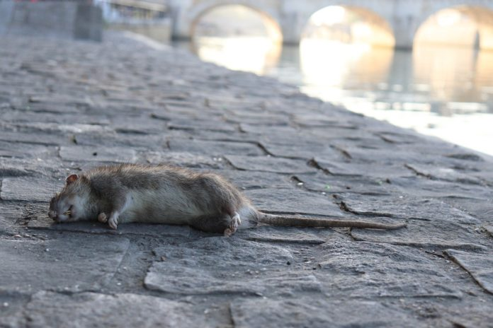 rat mort à paris